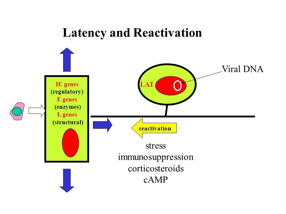 Bovine herpesviruses TypeClinical entity BHV-1.1respiratory (IBR), abortions BHV-1.2genital (IPV) BHV-1.3 (5)emcephalitis BHV-2mammalitis Bovine herpesvirusClinical BHV-1.1Respiratory (IBR), abortions, encephalitis BHV-1.2Genital lesions (IPV) BHV-1.3 (5)Encephalitis BHV-2Mammalitis