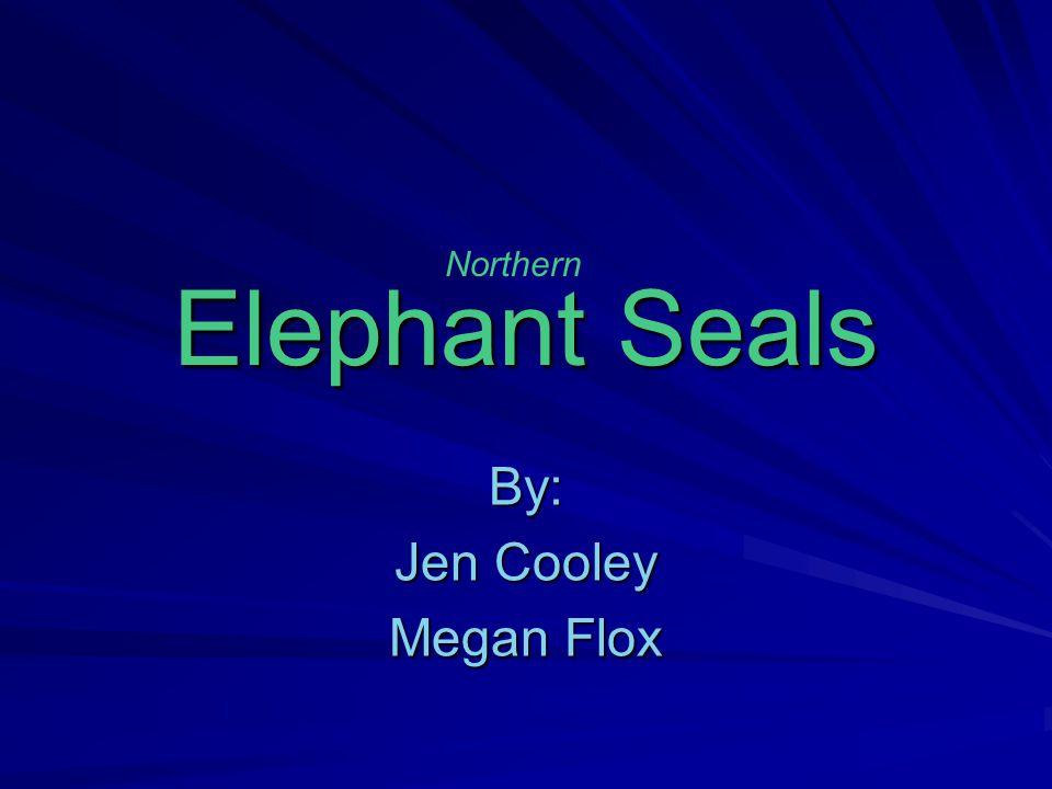 Elephant Seals By: Jen Cooley Megan Flox Northern