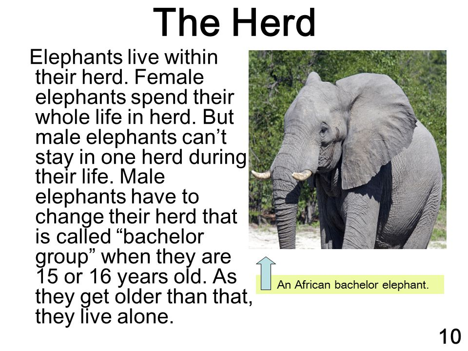 The Herd Elephants live within their herd. Female elephants spend their whole life in herd. But male elephants can't stay in one herd during their lif