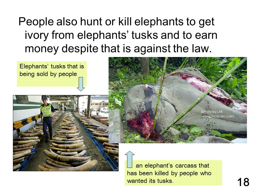People also hunt or kill elephants to get ivory from elephants' tusks and to earn money despite that is against the law. Elephants' tusks that is bein