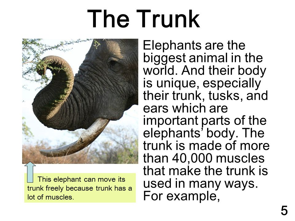 The Trunk Elephants are the biggest animal in the world. And their body is unique, especially their trunk, tusks, and ears which are important parts o