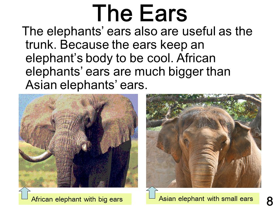 The elephants' ears also are useful as the trunk. Because the ears keep an elephant's body to be cool. African elephants' ears are much bigger than As