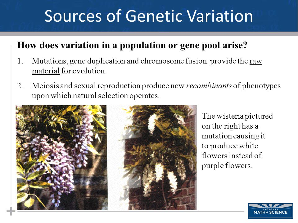 Sources of Genetic Variation 18 How does variation in a population or gene pool arise? 1.Mutations, gene duplication and chromosome fusion provide the