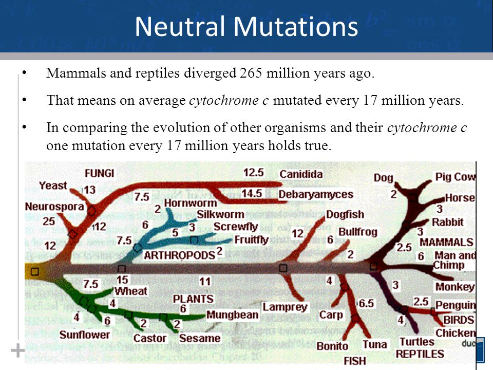 Neutral Mutations 24 Mammals and reptiles diverged 265 million years ago. That means on average cytochrome c mutated every 17 million years. In compar