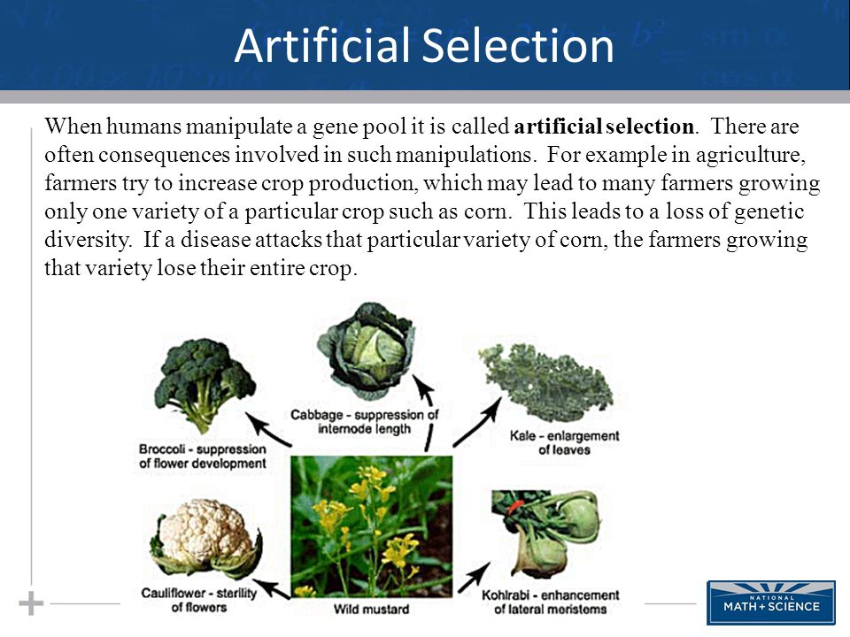 Artificial Selection 34 When humans manipulate a gene pool it is called artificial selection. There are often consequences involved in such manipulati