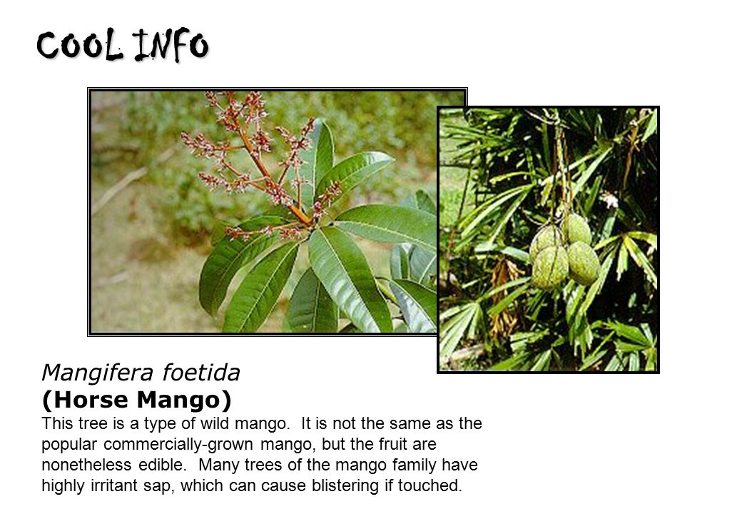COOL INFO Mangifera foetida (Horse Mango) This tree is a type of wild mango.