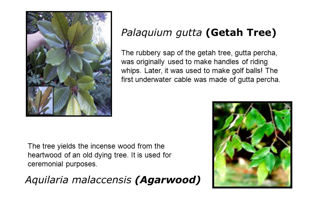 Palaquium gutta (Getah Tree) The rubbery sap of the getah tree, gutta percha, was originally used to make handles of riding whips.