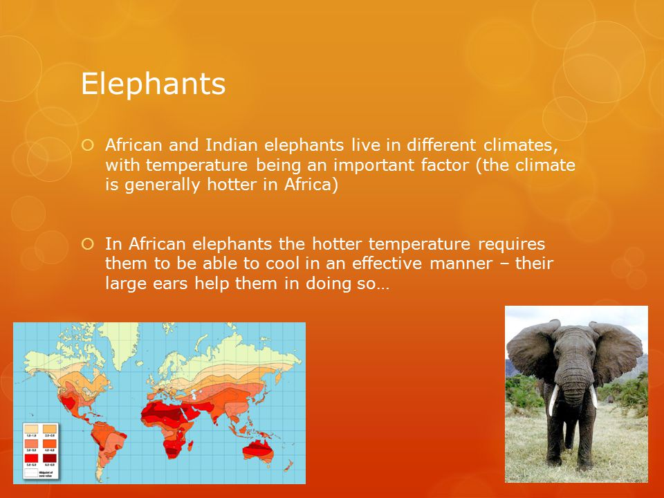 Elephants  African elephants large ears have many blood vessels running through them – when the temperature is hot blood passes into the ears, and heat is lost to the environment via conduction (increased via flapping)