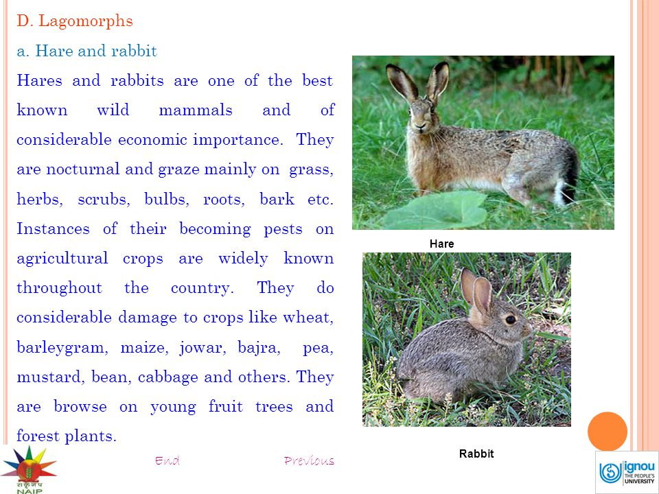 D. Lagomorphs a. Hare and rabbit Hares and rabbits are one of the best known wild mammals and of considerable economic importance. They are nocturnal