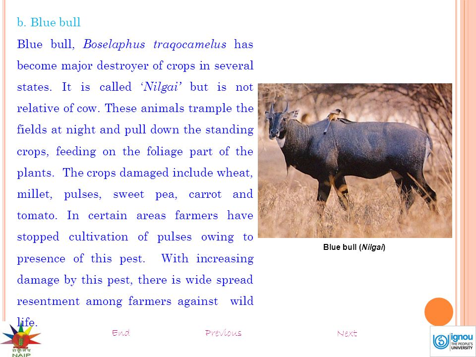 b. Blue bull Blue bull, Boselaphus traqocamelus has become major destroyer of crops in several states. It is called ' Nilgai' but is not relative of c