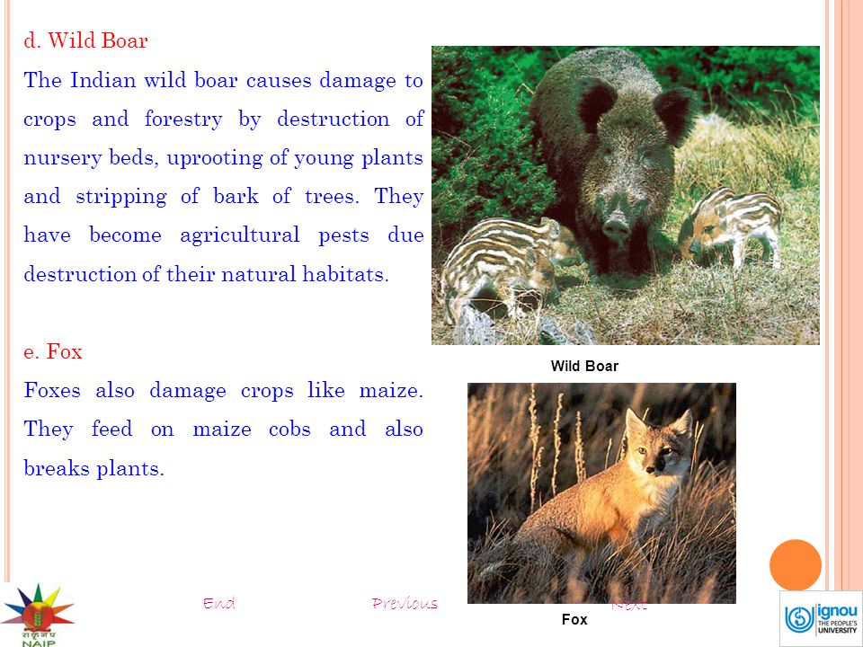 d. Wild Boar The Indian wild boar causes damage to crops and forestry by destruction of nursery beds, uprooting of young plants and stripping of bark