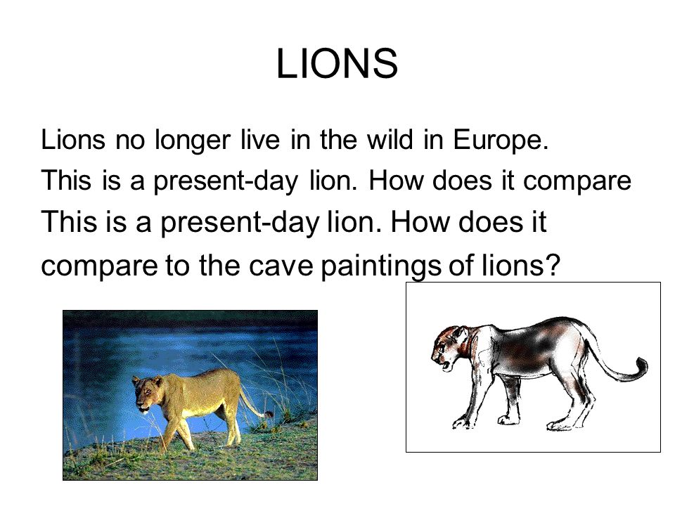 LIONS Lions no longer live in the wild in Europe. This is a present-day lion. How does it compare This is a present-day lion. How does it compare to t