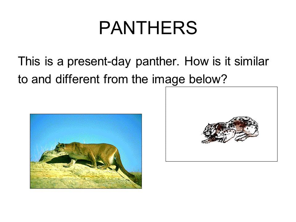 PANTHERS This is a present-day panther. How is it similar to and different from the image below?