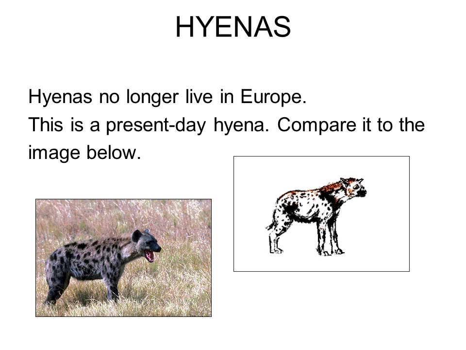 HYENAS Hyenas no longer live in Europe. This is a present-day hyena. Compare it to the image below.