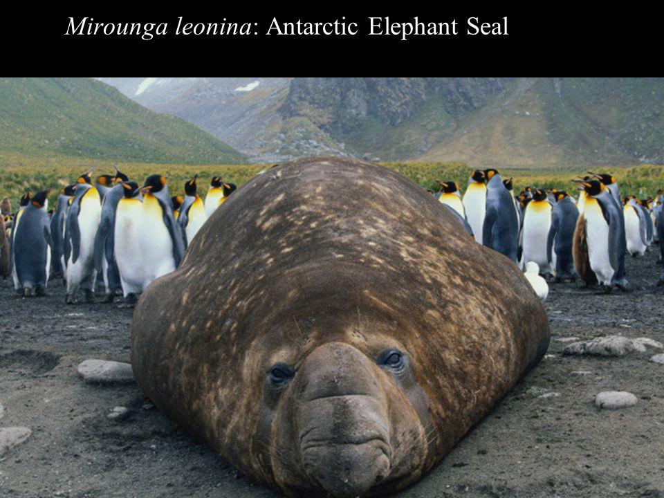Mirounga leonina: Antarctic Elephant Seal elephant seal