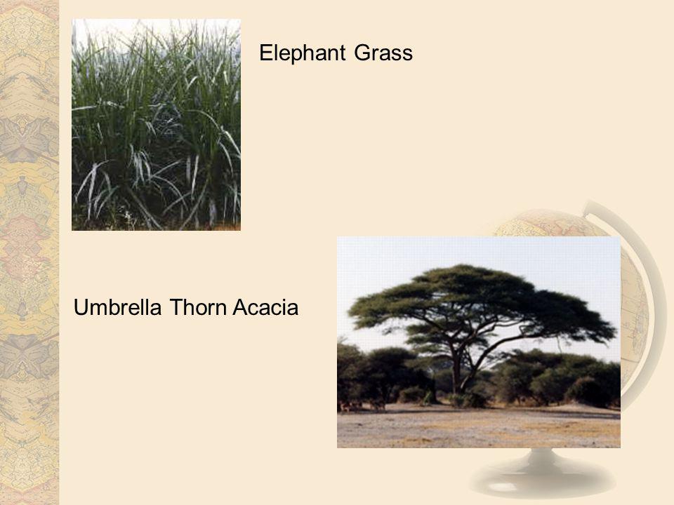 Elephant Grass Umbrella Thorn Acacia