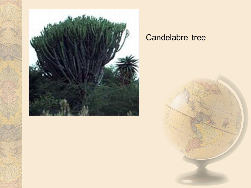 Candelabre tree