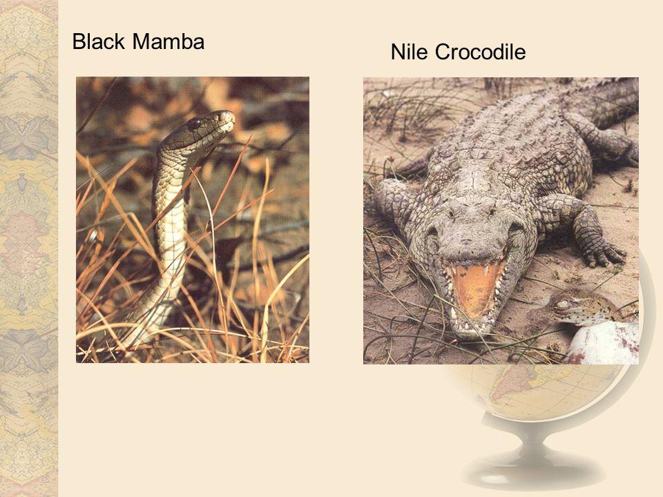 Black Mamba Nile Crocodile