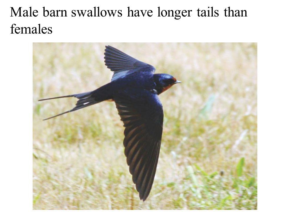Male barn swallows have longer tails than females