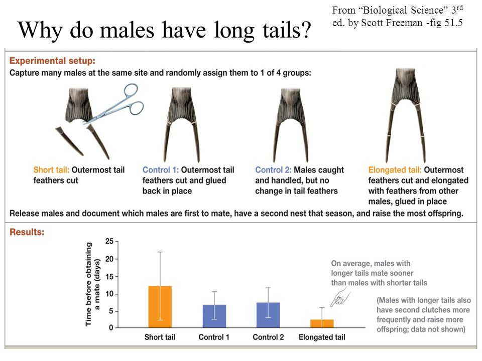 """Why do males have long tails? From """"Biological Science"""" 3 rd ed. by Scott Freeman -fig 51.5"""