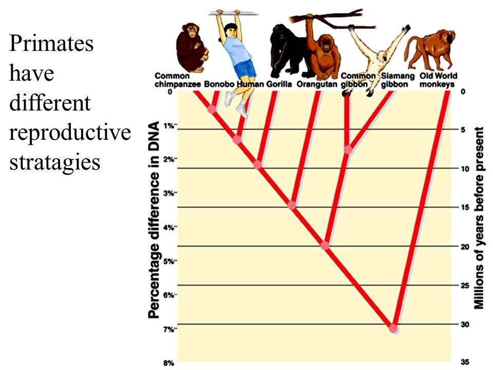 Primates have different reproductive stratagies