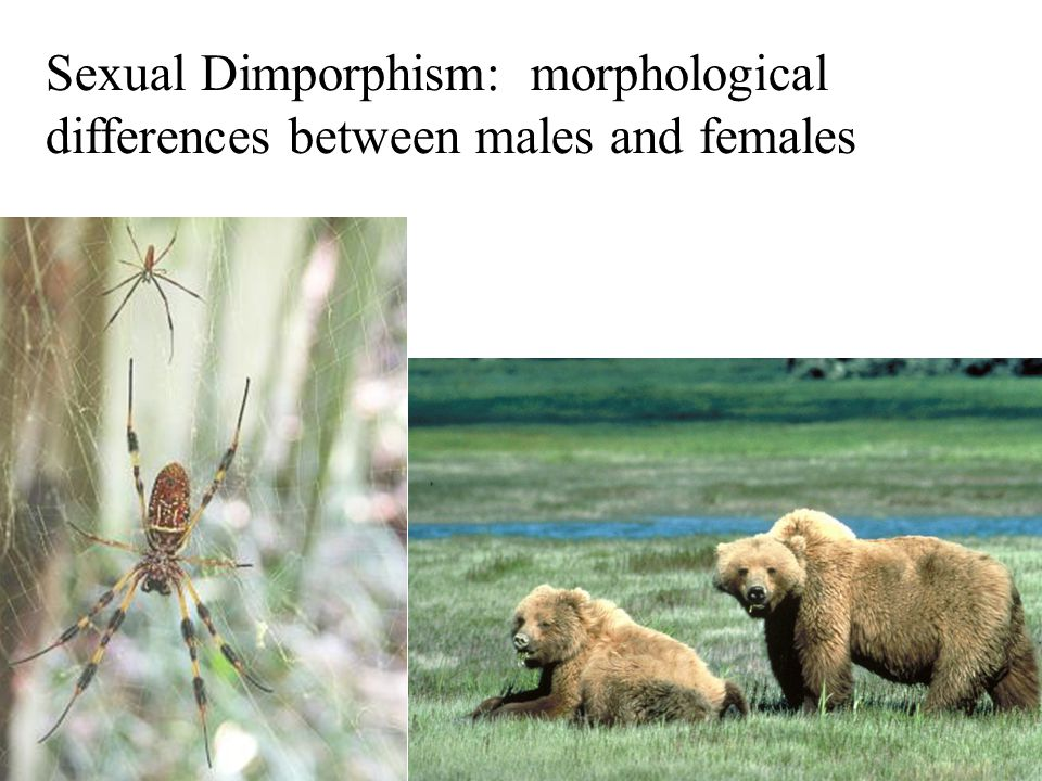 Sexual Dimporphism: morphological differences between males and females