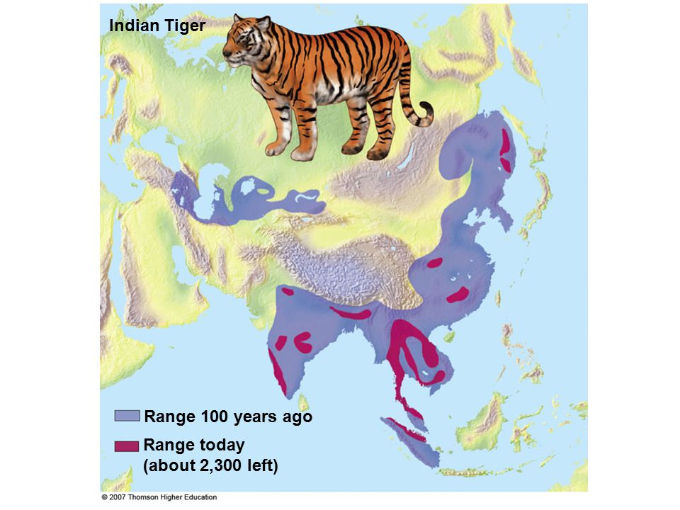 Range 100 years ago Indian Tiger Range today (about 2,300 left)