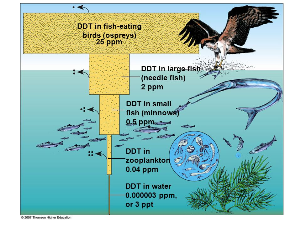 DDT in water 0.000003 ppm, or 3 ppt DDT in fish-eating birds (ospreys) 25 ppm DDT in large fish (needle fish) 2 ppm DDT in small fish (minnows) 0.5 pp