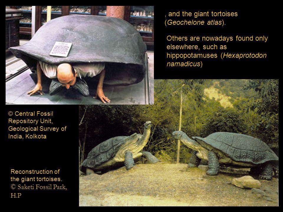 , and the giant tortoises (Geochelone atlas).