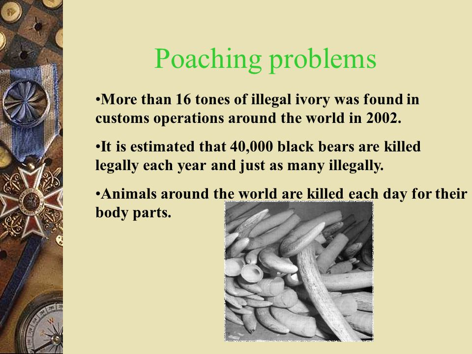 Poaching problems More than 16 tones of illegal ivory was found in customs operations around the world in 2002.