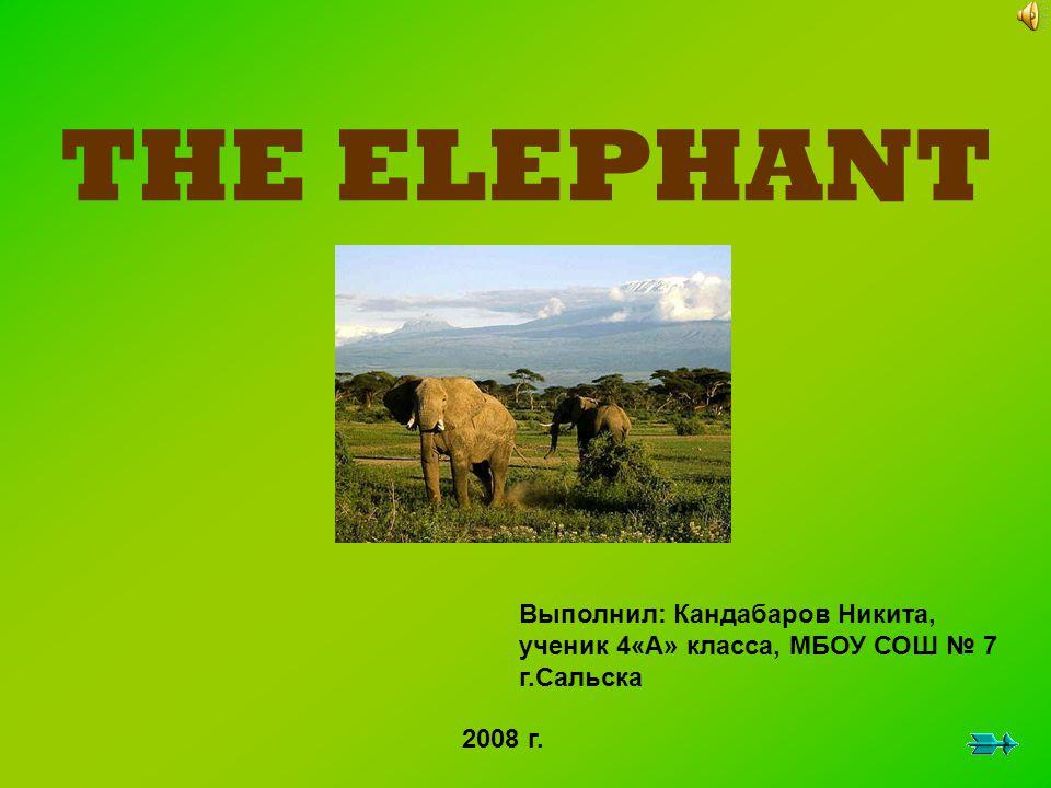 THE ELEPHANT Выполнил: Кандабаров Никита, ученик 4«А» класса, МБОУ СОШ № 7 г.Сальска 2008 г.
