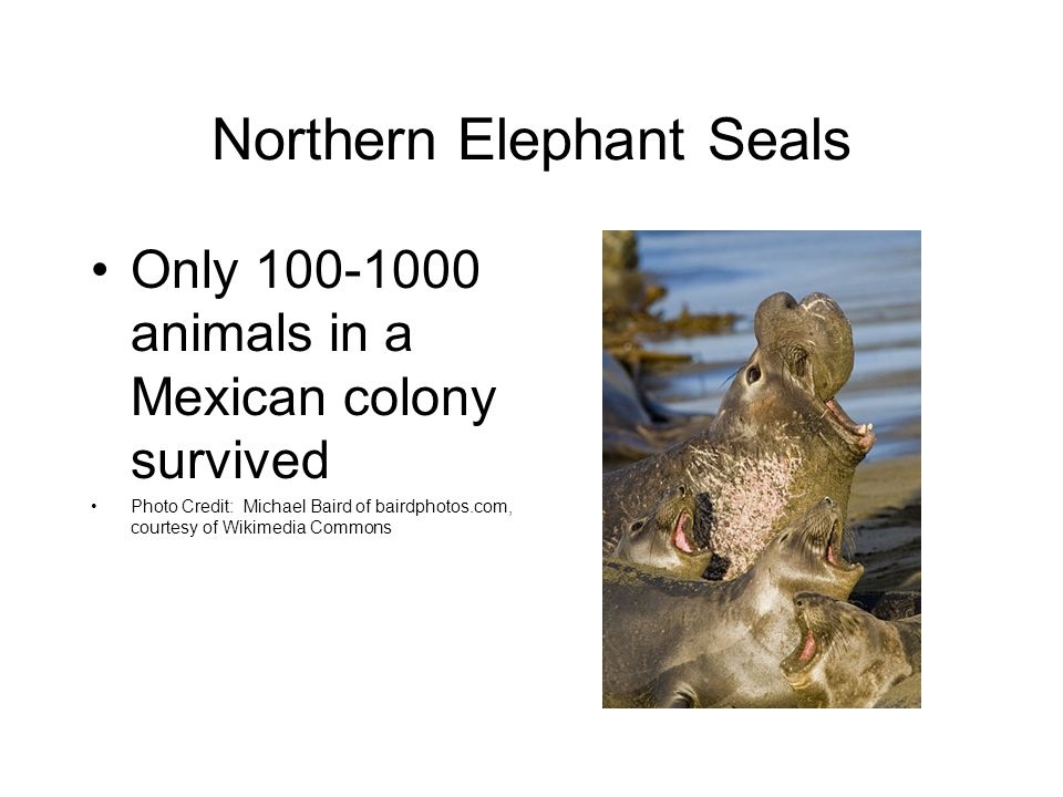 Northern Elephant Seals Only 100-1000 animals in a Mexican colony survived Photo Credit: Michael Baird of bairdphotos.com, courtesy of Wikimedia Commons