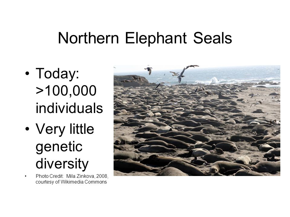 Northern Elephant Seals Today: >100,000 individuals Very little genetic diversity Photo Credit: Mila Zinkova, 2008, courtesy of Wikimedia Commons