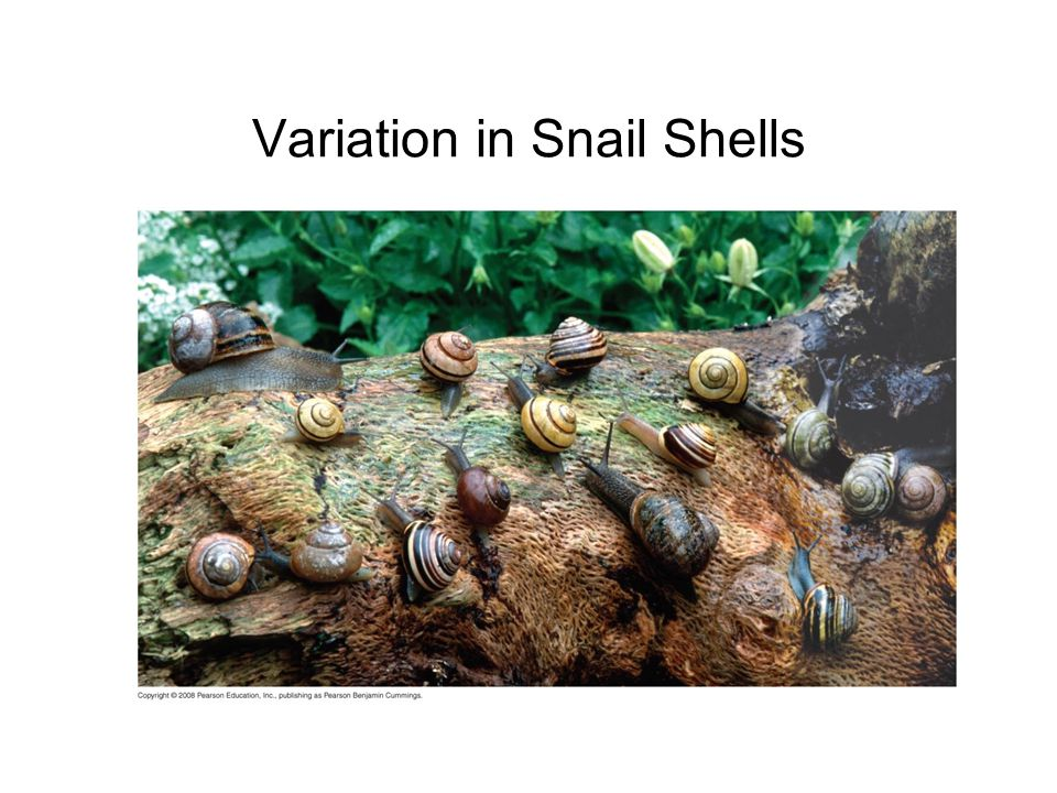 Variation in Snail Shells