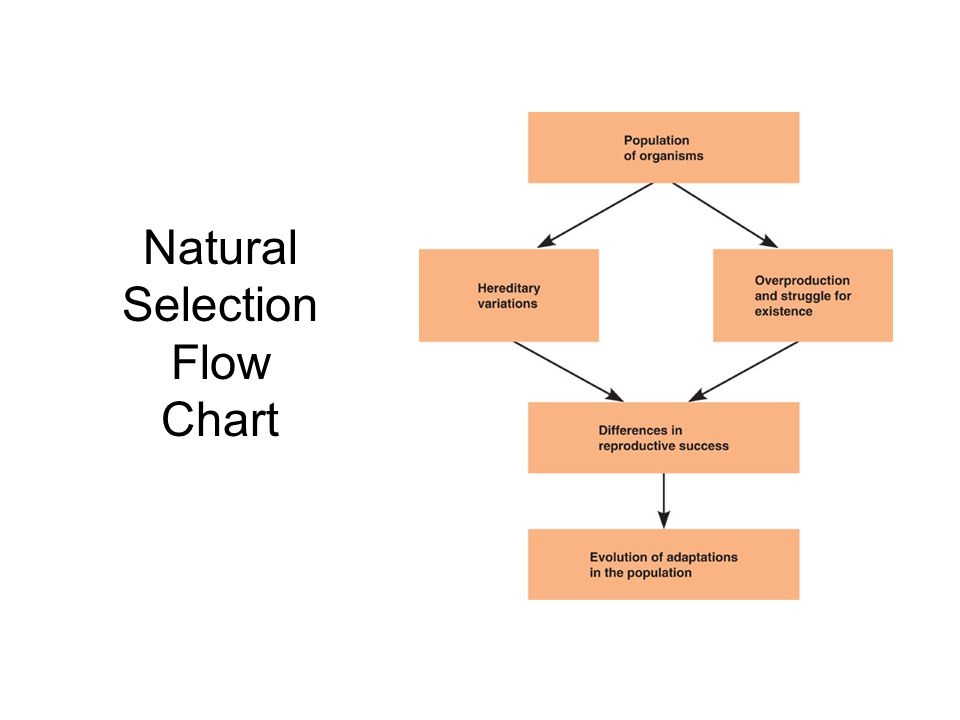 Natural Selection Flow Chart