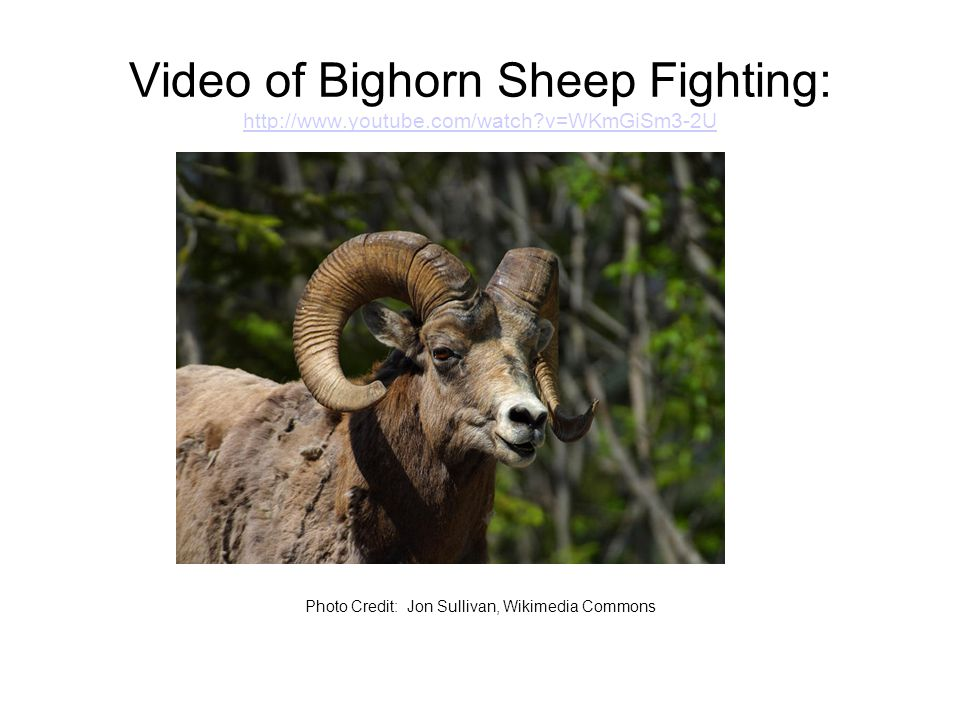 Video of Bighorn Sheep Fighting: http://www.youtube.com/watch v=WKmGiSm3-2U http://www.youtube.com/watch v=WKmGiSm3-2U Photo Credit: Jon Sullivan, Wikimedia Commons