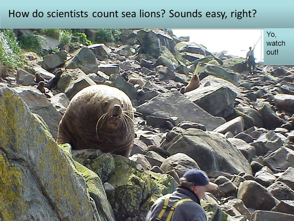 ESA listing & unexplained decline:  severe restrictions on largest commercial fishery in US (Alaskan groundfish) How do scientists count sea lions.