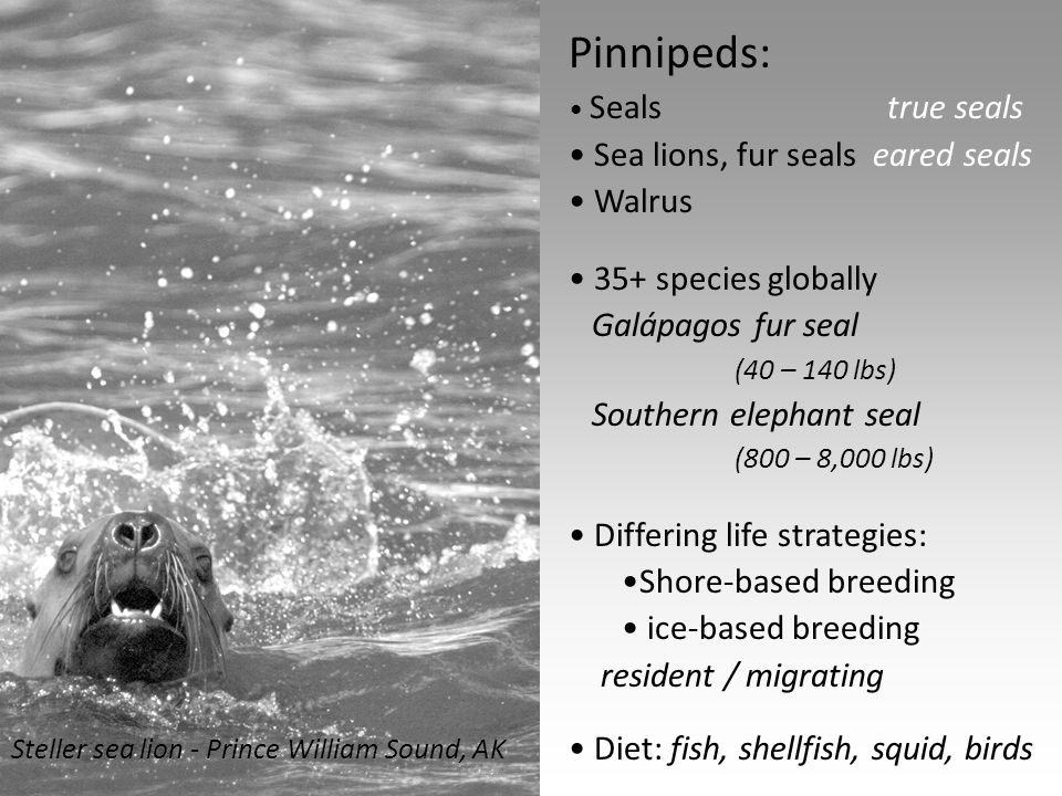 Fin-footed facts: Dives to 1,700 m depth Northern elephant seals Dives of 1 ½ hours Weddell seals Bi-annual migrations Northern elephant seals swim 20 – 40,000 km / yr Highly variable suckling period (lactation) 1-3 years - Galápagos fur seal 30-40 % milk fat 4-8 days - Harp seal up to 60% milk fat Weddell seal sleeping in ice hole Ross Sea, Antarctica