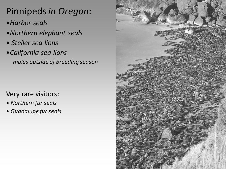 Pinnipeds in Oregon: Harbor seals Northern elephant seals Steller sea lions California sea lions males outside of breeding season Very rare visitors: Northern fur seals Guadalupe fur seals