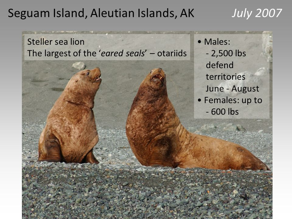 For more information about Steller sea lions, students can read the profile about Stella the Steller sea lion at : http://www.sealtag.org/imag es/Stella.pdf http://www.sealtag.org/imag es/Stella.pdf