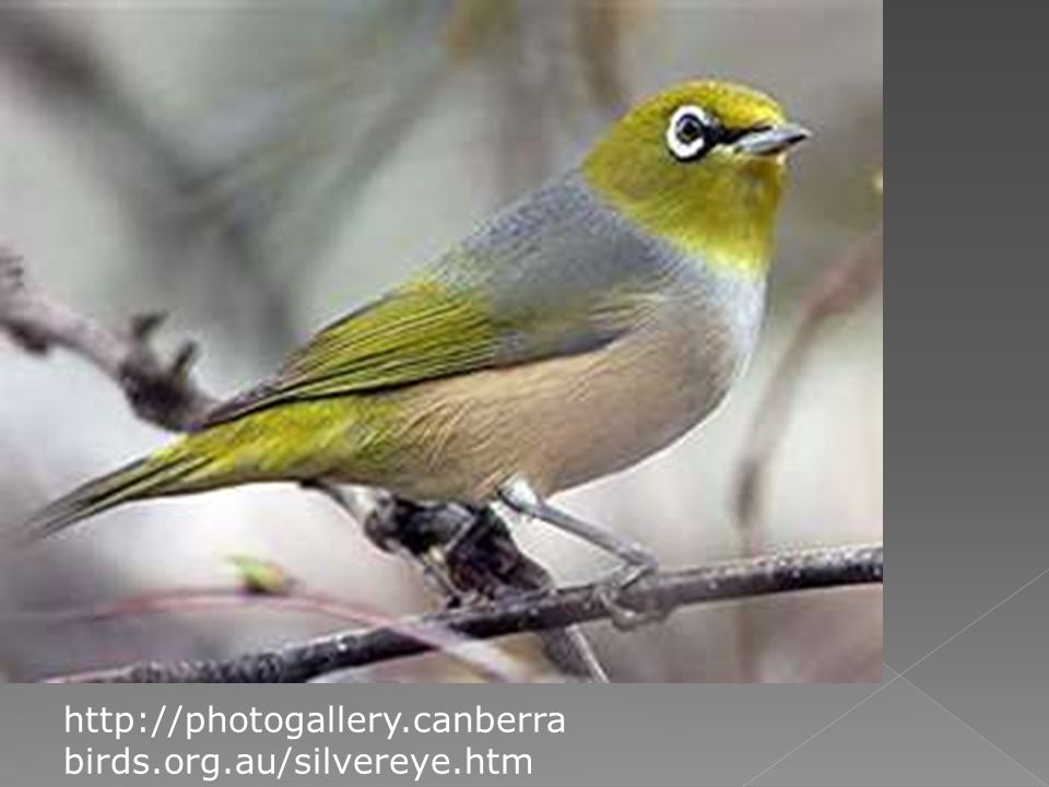 http://photogallery.canberra birds.org.au/silvereye.htm