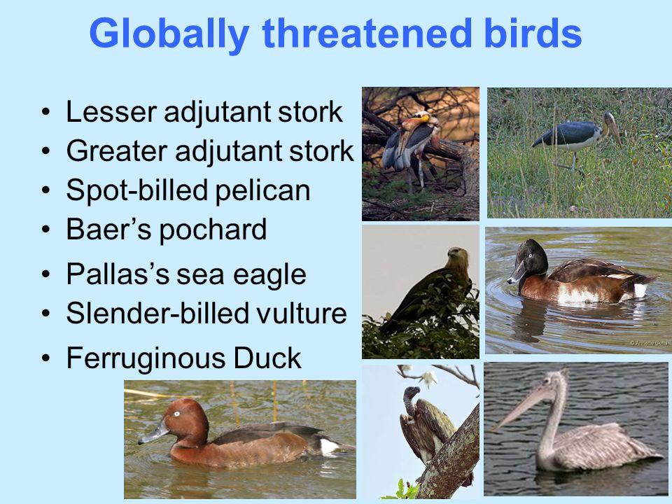 Globally threatened birds Lesser adjutant stork Greater adjutant stork Spot-billed pelican Baer's pochard Pallas's sea eagle Slender-billed vulture Fe
