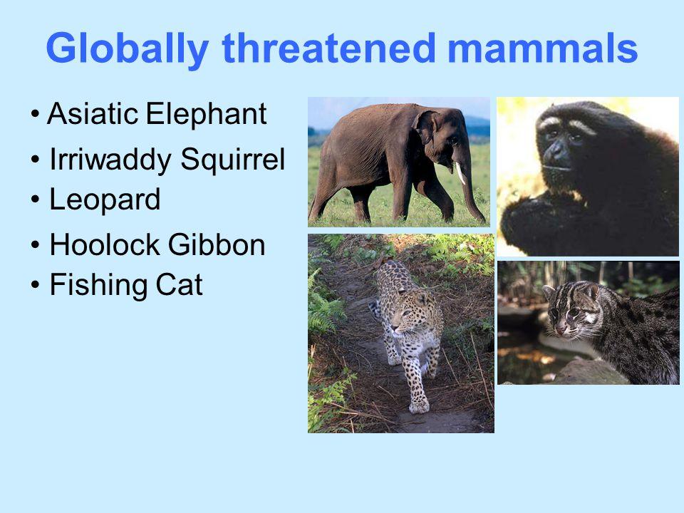 Globally threatened mammals Irriwaddy Squirrel Asiatic Elephant Leopard Hoolock Gibbon Fishing Cat