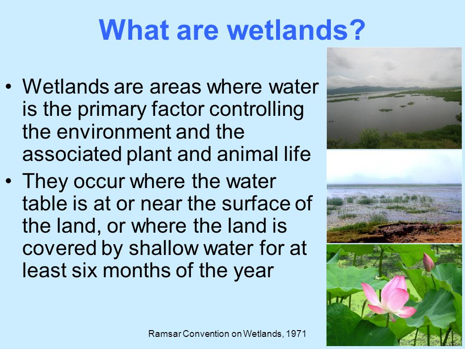 Five major wetland types; 1.Marine (coastal wetlands including coastal lagoons, rocky shores, and coral reefs) 2.Estuarine (including deltas, tidal marshes, and mangrove swamps) 3.Lacustrine (wetlands associated with lakes) 4.Riverine (wetlands along rivers and streams) 5.Palustrine (marshes, swamps and bogs) In addition, human-made wetlands (fish and shrimp ponds, farm ponds, irrigated agricultural land, salt pans, reservoirs, gravel pits, sewage farms and canals) What are wetlands.