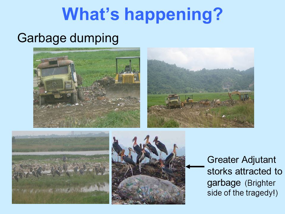 What's happening? Garbage dumping Greater Adjutant storks attracted to garbage (Brighter side of the tragedy!)
