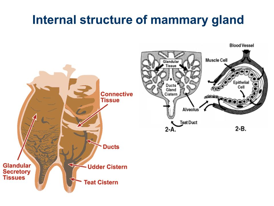 Internal structure of mammary gland