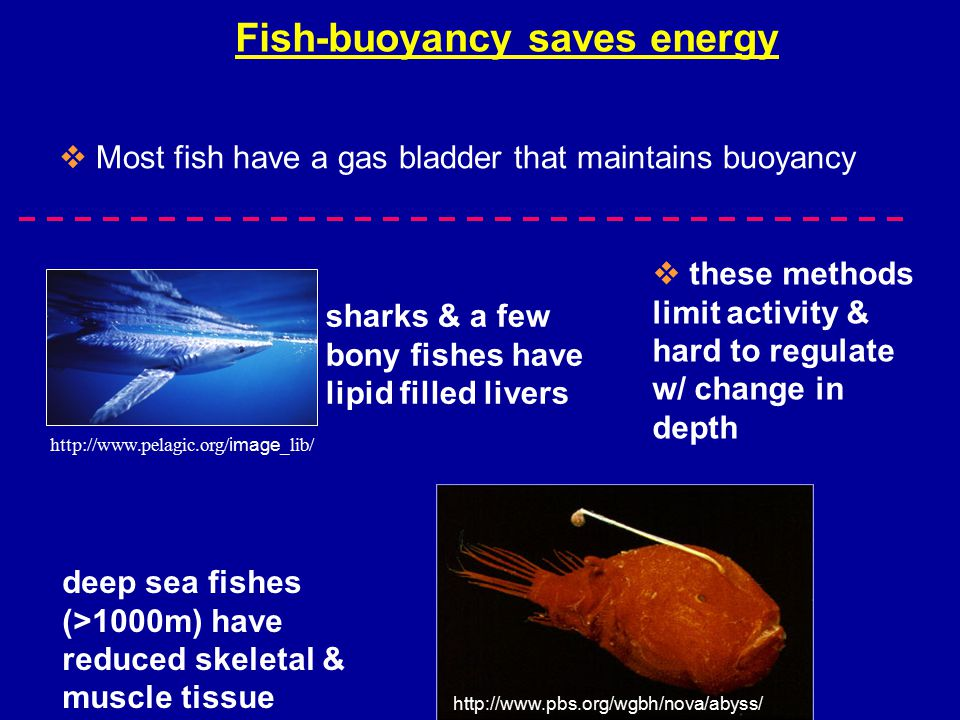 Fish-buoyancy saves energy sharks & a few bony fishes have lipid filled livers deep sea fishes (>1000m) have reduced skeletal & muscle tissue http://www.pelagic.org/ image _lib/ http://www.pbs.org/wgbh/nova/abyss/  these methods limit activity & hard to regulate w/ change in depth  Most fish have a gas bladder that maintains buoyancy