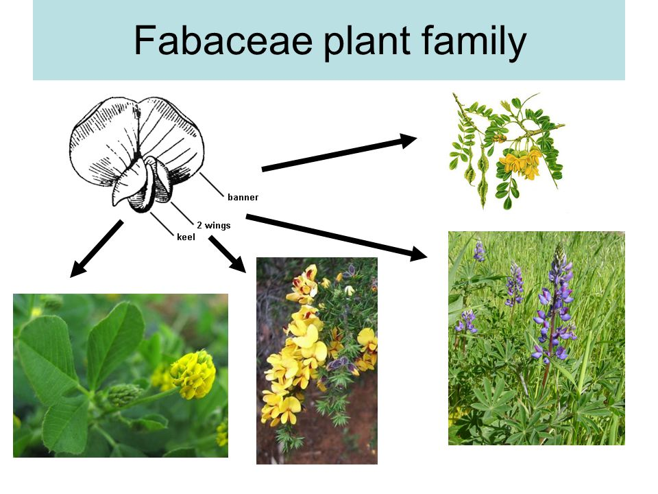 Fabaceae plant family