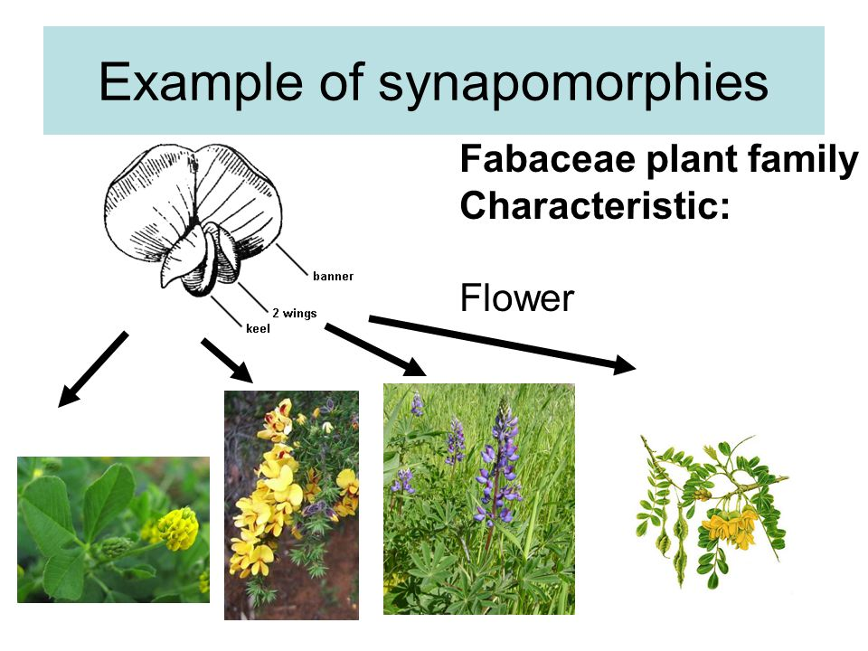Example of synapomorphies Fabaceae plant family Characteristic: Flower
