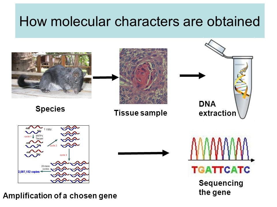 How molecular characters are obtained Species Tissue sample DNA extraction Amplification of a chosen gene Sequencing the gene